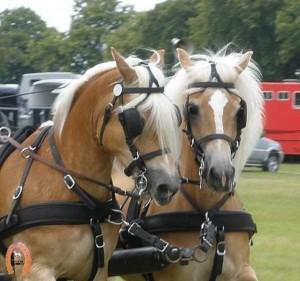 haflingerstaldeflammert.nl-website-20090711-141502-20091114-191751-052133