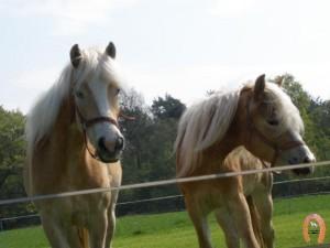 haflingerstaldeflammert.nl-website-20091114-195009-361320
