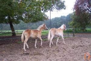 haflingerstaldeflammert.nl-website-20091122-141945-454010