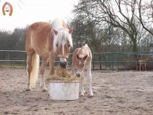 haflingerstaldeflammert.nl-website-20100508-193923-508726