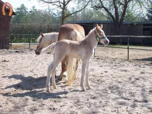 haflingerstaldeflammert.nl-website-20100508-194238-923793