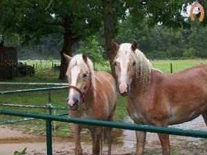 haflingerstaldeflammert.nl-website-20091114-192325-509828