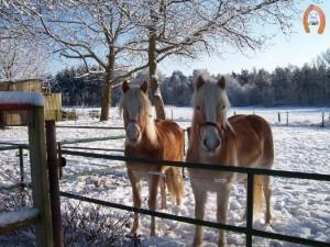 haflingerstaldeflammert.nl-website-20090105-142006-20090209-212731-359377